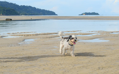 Dog running on the beach Koh Chang Trad Thailand