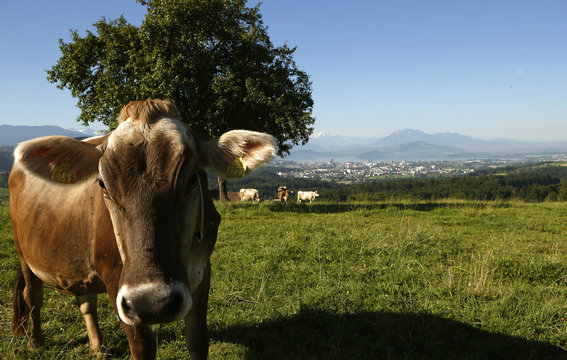 Cows stand on a meadow with the Swiss town of Zug with the Swiss Alps in the background