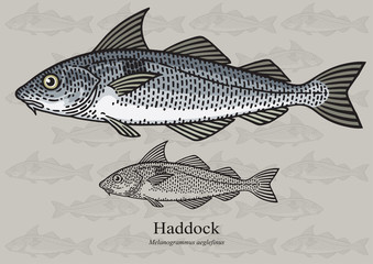 Haddock, Offshore Hake. Vector illustration for artwork in small sizes. Suitable for graphic and packaging design, educational examples, web, etc.