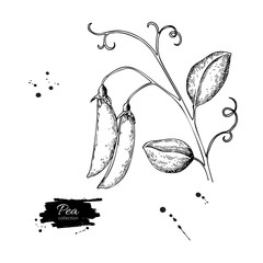 Pea pod hand drawn vector illustration. Isolated Vegetable engra