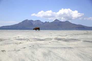 A cow stands on Lag Bay beach, the island of Rum is seen in the background, on the island of Eigg, Inner Hebrides, Scotland