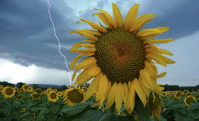 A sunflower field is seen in stormy weather near Donzere