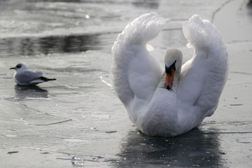 A swan sits on partly frozen water in the harbour of Strasbourg