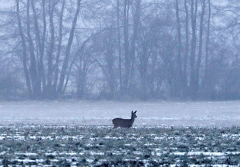 A deer is pictured on a snow-covered field, near the village of Kraenzlin north of Berlin