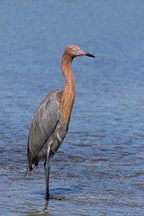 Reddish Egret (Egretta rufescens) standing while fishing in shallow blue water at Fort Desoto Park near St. Pete Beach, Florida.
