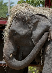 Straw covers the head of an elephant at a camp in the ancient Thai capital Ayutthaya