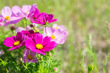 Smmer field with pink fresh cosmos flowers
