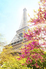 Eiffel Tower and cherry blossom
