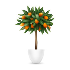 Kumquat tree in pot