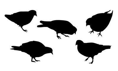 Set of realistic illustrations of silhouette walking and pecking pigeon, isolated on white background - vector