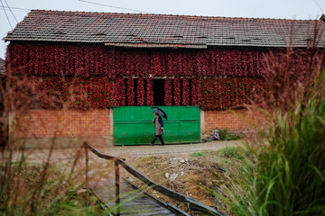 A woman walks along a road as bunches of paprika hang on the wall of a house to dry in the village of Donja Lakosnica