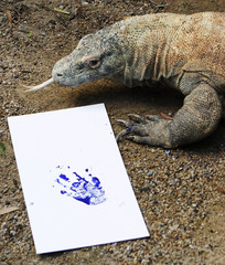 A Komodo dragon sticks out its tongue next to its footprint at Taronga Zoo in Sydney