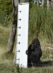 """Kimbuka"", a western lowland gorilla holds a height chart that was placed in his enclosure at London Zoo"