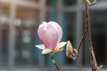 Pink magnolia blossoms on a tree with water drops. Shallow depth of field.
