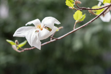 White magnolia blossoms on a tree. Shallow depth of field.