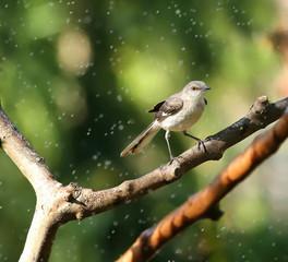 Northern Mocking bird enjoying the spray from a hose on a warm spring day.