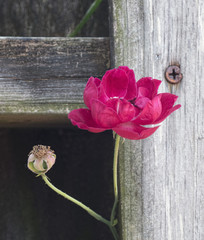 Red flower and bud peaking through an old wooden fence with a rusty nail.