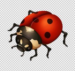 Ladybug in fine details