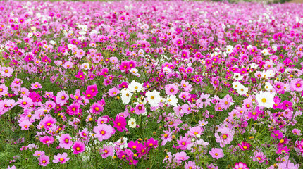 Beautiful Cosmos flower garden
