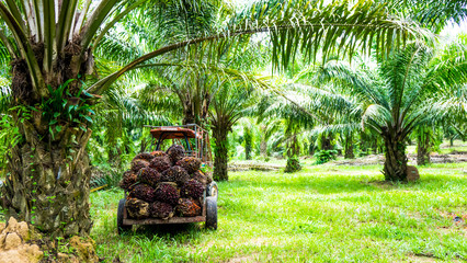 Harvesting palm oil in the plant