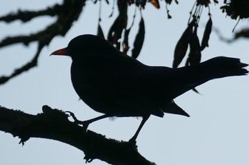 Vogel - Vogelsilhouette