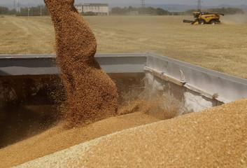 Farmers harvest wheat at a field near Mezokovesd