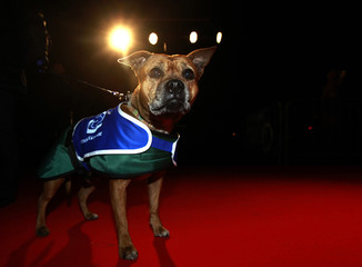 Shandy, a staffordshire bull terrier cross, poses on the red carpet in London