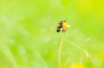 Yellow meadow flower and insect on green grass natural background