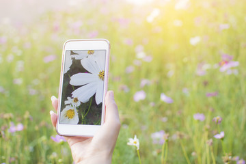 Woman Photography take a photo of fields white Cosmos beautiful by smartphone with cosmos garden