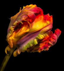 Fine art still life bright colorful macro portrait fantasy of a single isolated flowering closed parrot tulip blossom in surrealistic / fantastic realism style with pop-art  rainbow colors