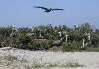 Pelicans nest on a barrier island in Cat Bay in Plaquemines Parish, Louisiana