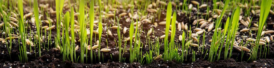 Anzucht von Katzengras oder Zyperngras, Samen und Sprößlinge