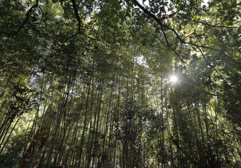 The sun shines through the leaves of bamboo trees in the Parc Bordelais on an autumn day in Bordeaux