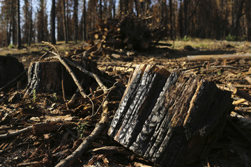 A burnt tree stump is pictured amongst other trees scorched from last year's Rim fire near Groveland