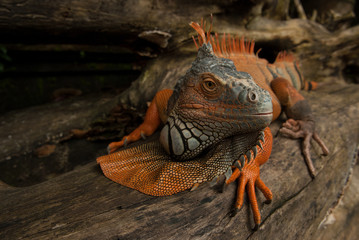 The huge iguana lizard moves along the trunk of the tree, turns its head and looks carefully, the color is gray and bright orange, Bali, Indonesia.