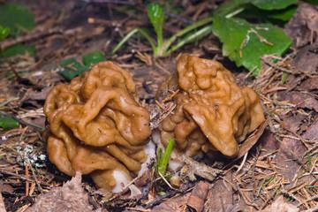 False morel or Gyromitra esculenta spring poisonous mushrooms macro, selective focus, shallow DOF