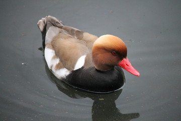 Un canard nommé Nette rousse nage