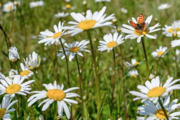 gänseblume mit Schmetterling