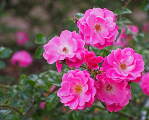 Japanese rose : Rosa multiflora.