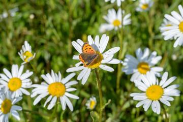 oranger Schmetterling auf blume