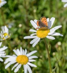 Schmetterling auf Margerite