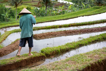 Back view of worker on rice field