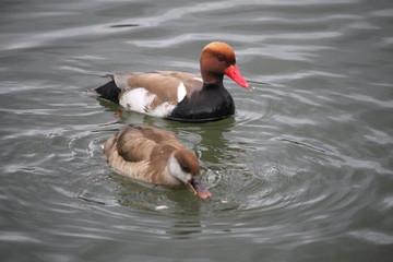 Couple de canard Nette rousse