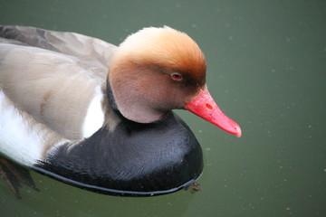 Un canard Nette rousse mâle