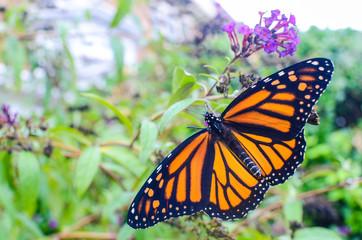 Butterfly Wings Spread