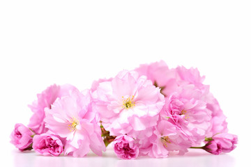sakura blossom or pink cherry flower isolated on white background
