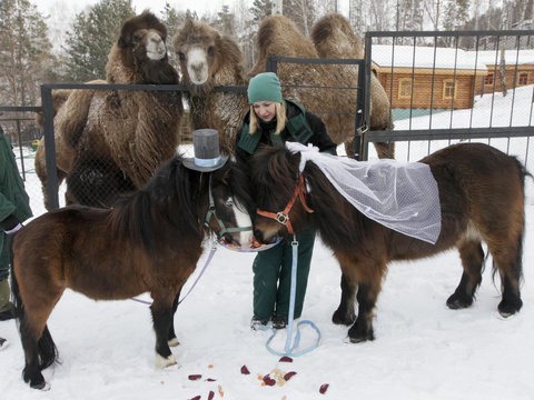 Camels watch as an employee of Royev Ruchey Zoo feeds treats to male Shetland pony, Silver, and female, Zorka, dressed up as a groom and bride at the suburbs of Russia's Siberian city of Krasnoyarsk