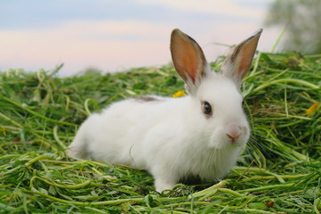 White rabbit on the grass