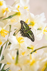 daffodils with butterflies, spring background of flowers.