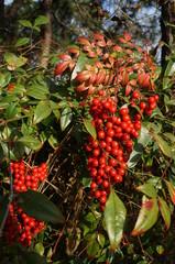 nandina domestica plant, red berries, heavenly bamboo, sacred bamboo